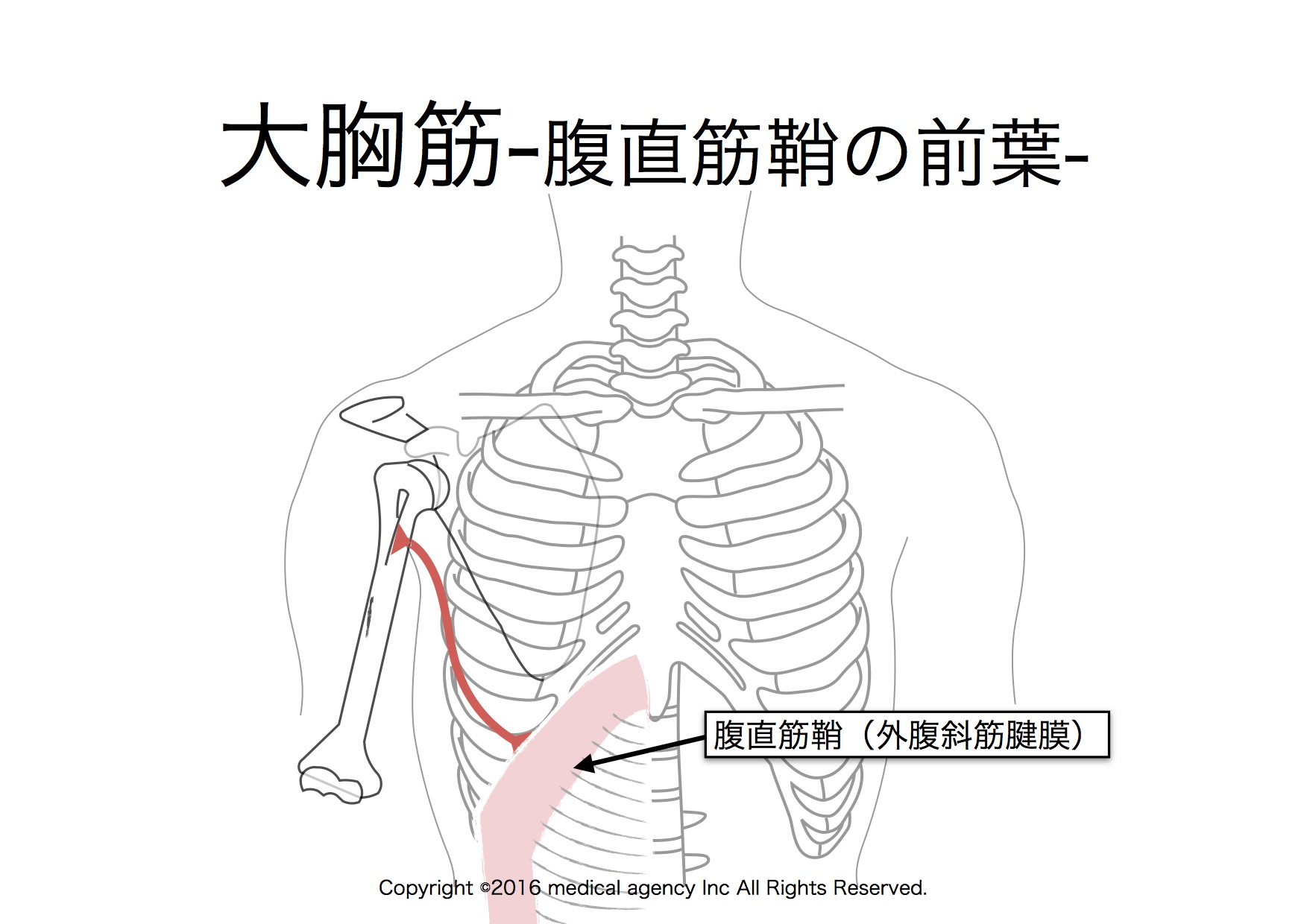 大胸筋 腹部
