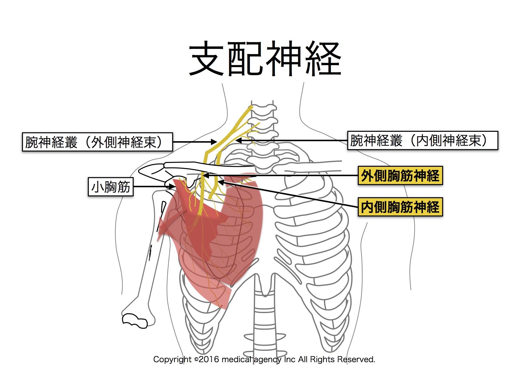 大胸筋の支配神経