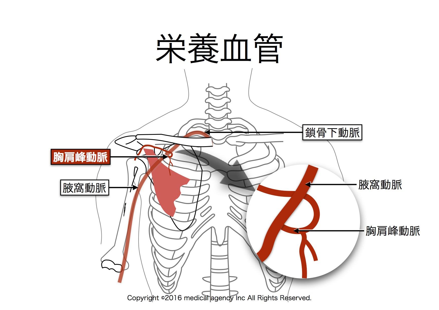 大胸筋 栄養血管
